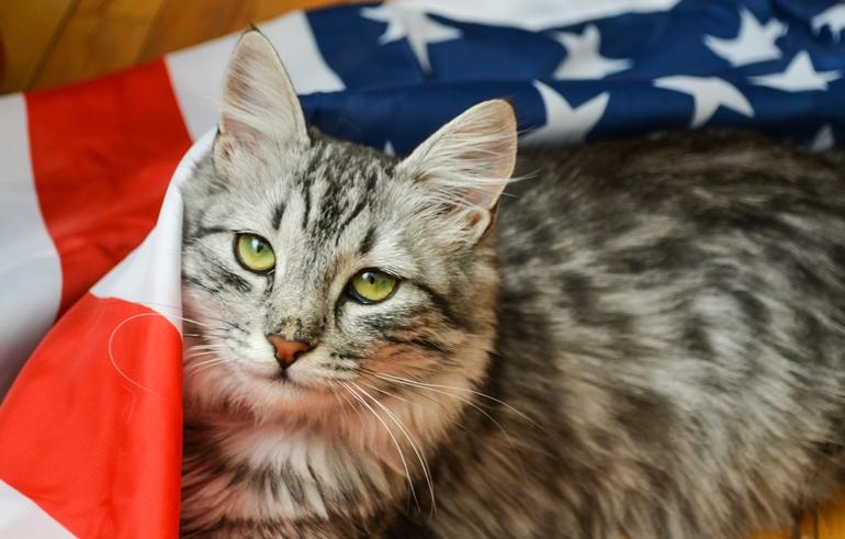 americancat