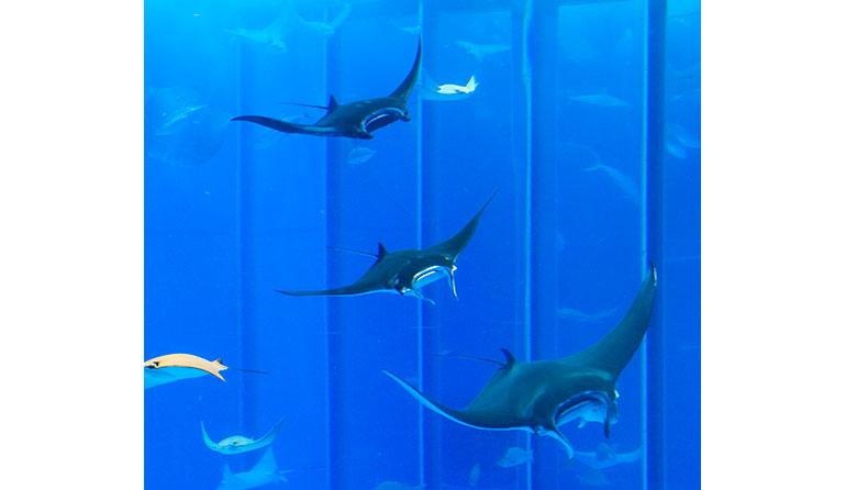 沖縄美ら海水族館 「黒潮の海」